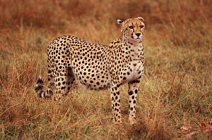 Female Cheetah, known as Kidogo, with stomach distended after feeding on Thomson's gazelle kill  -  Chris Taylor