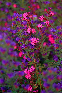 Red campion and Vipers bugloss (Silene dioica and Echium vulgare) Scotland, UK  -  Niall Benvie