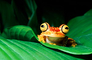 Rainforest tree frog on leaf, Ecuador, South America  -  Phil Savoie