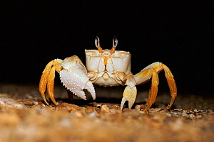 Ghost crab on beach at night (Ocypode sp) Madagascar - Phil Chapman