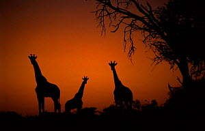 Giraffes (Giraffa camelopardalis) at dawn by Acacia tree, Moremi Wildlife Reserve, Botswana  -  Richard Du Toit