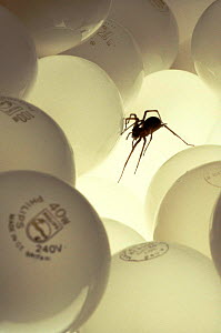 House spider crawling over light bulbs, UK  -  Chris Packham