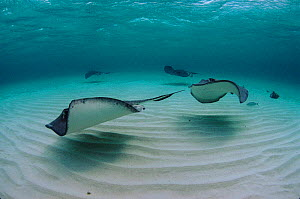 Southern stingrays in shallows off Cayman Islands - Georgette Douwma