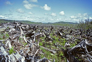 Burnt clearcut of Red cedar and Sitka spruce, Quinault reservation, Washington,  USA, 1984 - Doug Wechsler