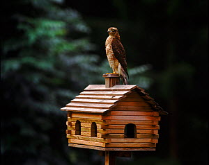 Male Sparrowhawk perched on birdhouse, Sweden - Bengt Lundberg