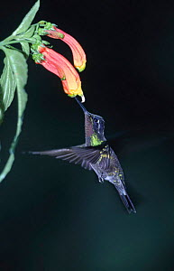 Purple throated mountain gem hummingbird feeding, Costa Rica (Lampornis calolaema)  -  Dietmar Nill