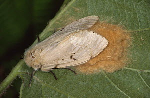 Female Gypsy moth (Lymantria dispar) on leaf, Germany, possibly laying eggs  -  Hans Christoph Kappel