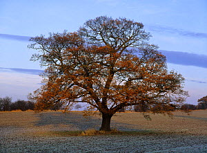 Oak tree {Quercus robur} Nottinghamshire, UK, December, sequence 4/4  -  Chris O'Reilly
