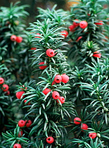 Close up of Yew tree berries (Taxus baccata) UK - Chris O'Reilly