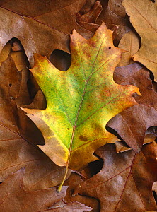 Red oak (Quercus rubra) leaf showing autumn colours. UK - Chris O'Reilly