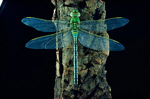 Emperor dragonfly at rest (Anax imperator). UK, Europe  -  SINCLAIR STAMMERS