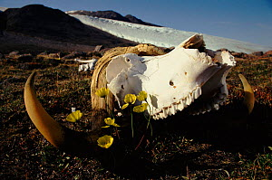 Arctic poppies (Papaver radicatum) and musk ox skull. Ellesmere Island, Canada  -  NEIL NIGHTINGALE