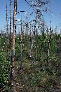 Dead trees from oil production pollution, Siberia.  -  DOMINIC JOHNSON