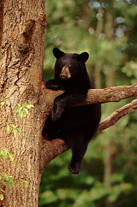 Black bear cub climbing tree, Minnesota, USA - Thomas Lazar