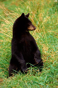 Black bear juvenile sitting in grass, Minnesota, USA. - Thomas Lazar