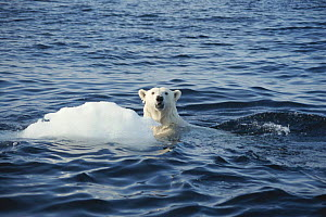 Polar bear swimming near ice floe. Canada, North West Territories - Martha Holmes