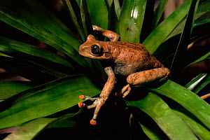 Tree frog (Hyla lindae). Western Ecuador, South America - Pete Oxford