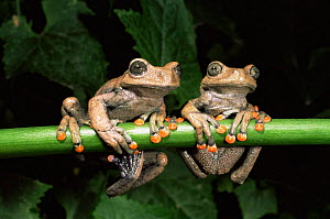 Tree frogs {Hyla lindae} Western Ecuador, South America, Captive. - Pete Oxford