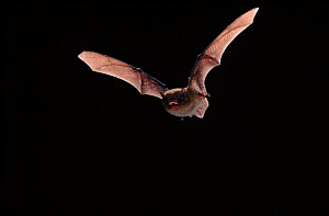 Nathusius Pipistrelle flying, Germany  -  Hans Christoph Kappel