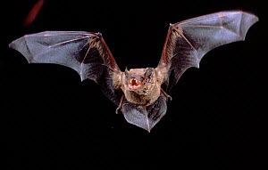 Noctule Bat in flight showing teeth, Germany - Dietmar Nill