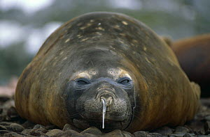 Moulting Southern elephant seal {Mirounga leonina} with runny nose, Dream Island, Antarctic Penninsula. - Peter Bassett