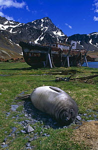 Southern elephant seal {Mirounga leonina} weaner resting on ground with whaling station in background, Grytviken, South Georgia.  -  Pete Oxford
