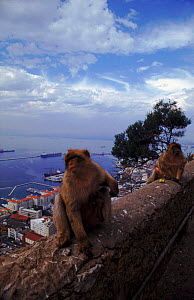 Barbary apes on wall overlooking Gibraltar harbour - Jason Venus