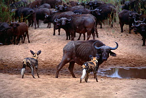African wild dogs {Lycaon pictus} watching herd of Cape buffalo (Syncerus caffer} Mala Mala GR, South Africa - Richard Du Toit