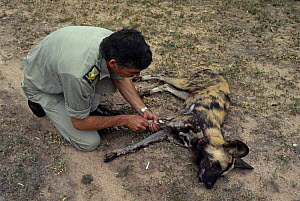 State vet, Dr Beniges, treating African wild dog (Lycaon pictus) injured by snare, Mala Mala GR, South Africa - Richard Du Toit