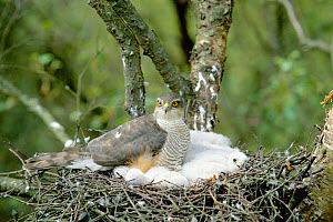 Female Sparrowhawk with chicks in nest. (Accipiter nisus) UK  -  David Kjaer
