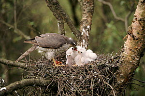 Female Sparrowhawk feeds chicks in nest. UK  -  David Kjaer