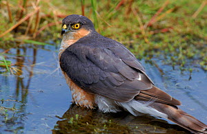 Male Sparrowhawk at water. Sussex, UK  -  David Kjaer