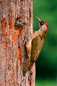 Green Woodpecker feeding young at nest in tree, England, UK  -  Mike Wilkes