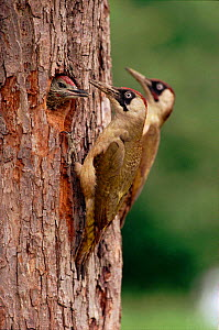 Green Woodpeckers feeding young at nest in tree, UK  -  Mike Wilkes