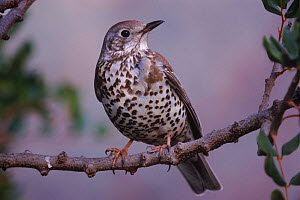 Mistle thrush {Turdus viscivorus} perched on branch. Spain. Alicante.  -  Jose B. Ruiz