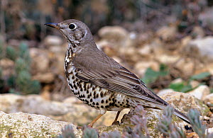 Mistle thrush (Turdus viscivorus) Alicante, Spain  -  Jose B. Ruiz