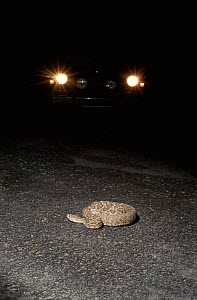 Western diamondback rattlesnake in road, lit by car headlights. The road lies in the path of the snakes migratory route across the Sonoran Desert, Arizona USA. Many become casualties when crossing. - Jason Venus
