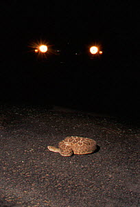 Western diamondback rattlesnake {Crotalus atrox} in road at night. BBC Incredible Journeys. Road in the path of snake's migratory route across the Sonoran Desert, Arizona USA. Many killed on road. - Jason Venus