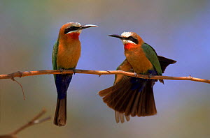 White fronted bee eater pair, Okavango Delta, Botswana, Africa - Pete Oxford
