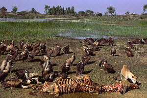 Long billed vultures (Gyps indicus) and feral dog scavenging dead buffalo, Rajasthan, India - Pete Oxford