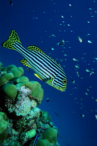 Oriental sweetlips, Lakshadweep,(formerly Laccadives), India  -  Georgette Douwma