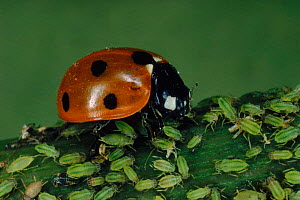 Seven spotted ladybird {Coccinella septempunctata} eating aphids. UK - Duncan Mcewan