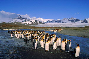 King Penguins, St.Andrews Bay, South Georgia. - Peter Bassett
