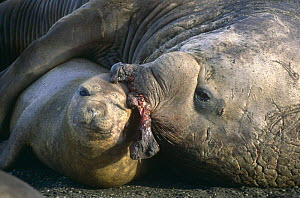 Southern elephant seal {Mirounga leonina} wounded bull trying to mate, St. Andrews Bay, South Georgia, Antarctica. - Peter Bassett