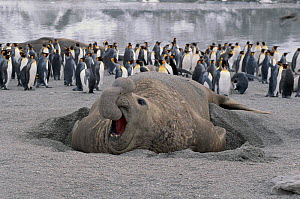 Aggressive bull elephant seal and penguins on beach at  St Andrews Bay, South Georgia  -  Peter Bassett