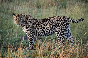 Leopard known as 'Half tail', Masai Mara, Kenya. One of the animals featured in BBC tv series 'Big Cat Diary'  -  Marguerite Smits Van Oyen