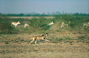 Wild Indian grey wolf (Canis lupus) hunting Khur / Indian wild ass (Equus hemionus khur) Little Rann of Kutch, Gujarat, India - Anup Shah
