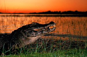 Caiman with piranha at sunset. Ibera Marshes Nature Reserve, Argentina  -  Ross Couper-Johnston