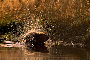 American beaver shaking off water (Castor canadensis) Grand Teton NP, USA  -  Richard Du Toit