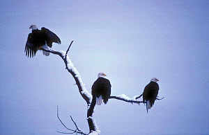 American bald eagles on perch (Haliaeetus leucocephalus) Alask - TOM MANGELSEN